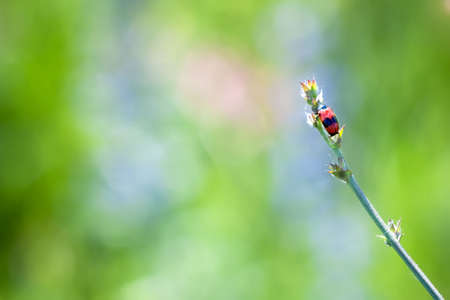 hemiptera: red beetle on stem in nature on a blurred background.  Stock Photo