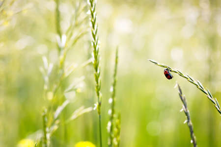 red beetle on spikelet in nature on a blurred background. photo