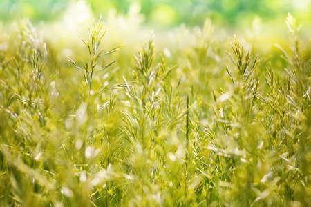 Wheat field - green wheat natural blurred background photo