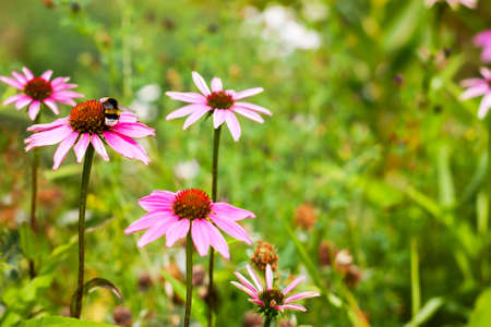 symbiotic: bumblebee on a pink camomile flower background