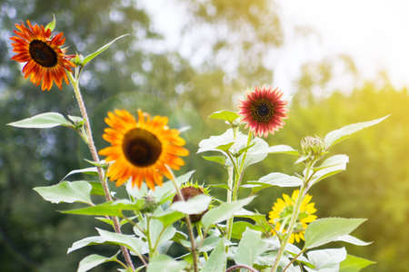 yellow, orange and red sunflowers colored natural background photo