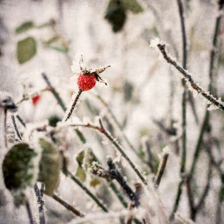 frost winter: rosehip berries in the frost winter background vintage paper texture