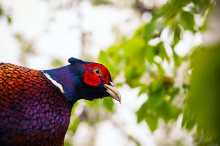 white necked: pheasant sitting in the branches of a flowering cherry tree. Close up photo