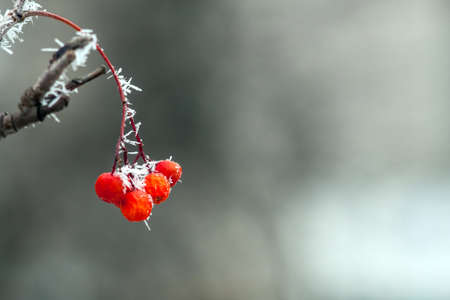 ash berry: red rowan berries in the frost, snow, winter background