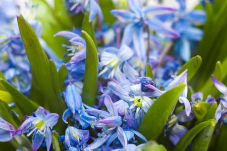 glory of the snow: Floral background of first blue spring flowers close up macro photo