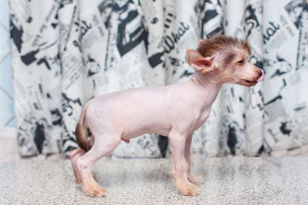 pappy: Little funny Chinese Crested pappy dog posing