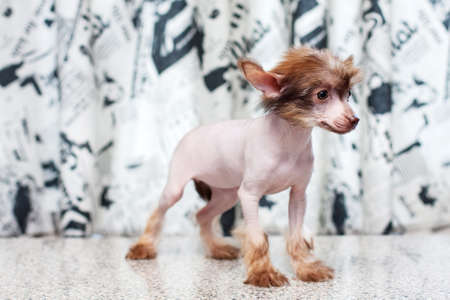 pappy: Little funny Chinese Crested pappy dog portrait