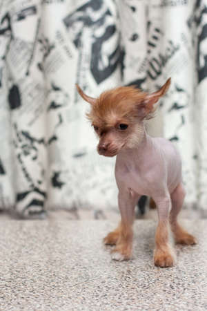 lapdog: Little funny Chinese Crested pappy dog portrait