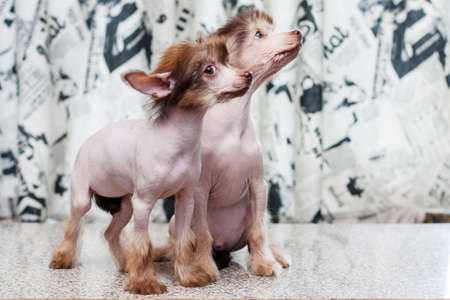 pappy: Two Little funny Chinese Crested pappy dog posing
