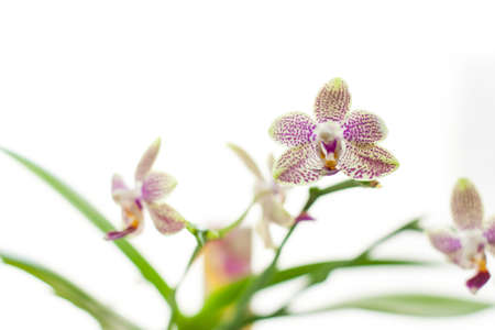 splendid: Splendid fresh elegant white orchid tender exotic flower plant with pretty petals colorful natural floral decor on white blur background closeup, horizontal picture Stock Photo