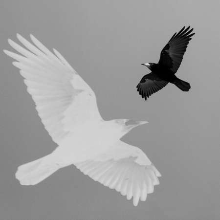 Flying crow on a white background. Black and white photo 免版税图像