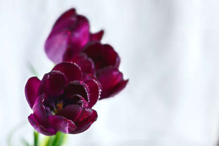 three purple tulips with dew drops on a white-gray background