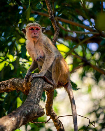 Macaque monkey sitting on a tree in Sri Lankan jungle