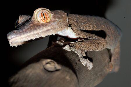 Giant leaftail gecko climbing a branch Reklamní fotografie