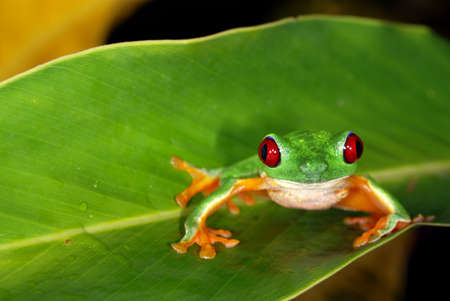 redeye: Red eye tree frog on a leaf in Costa Rica Stock Photo