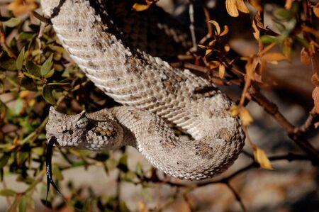 Sidewinder rattlesnake hanging from a bush