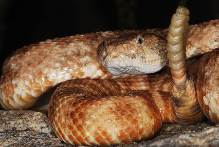 Speckled rattlesnake in Joshua Tree National Park