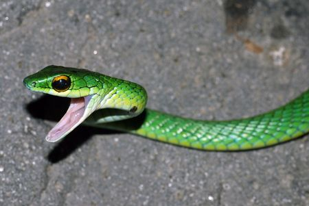 A very angry green snake in Costa Rica