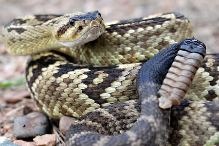 mess: Arizona blacktail rattlesnake in the mountains of Arizona.