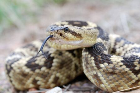 flicking: An arizona blacktail rattlesnake flicking its tongue Stock Photo