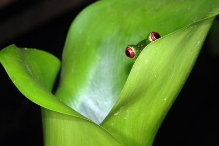 A red eye tree frog peeking out from a plant in Costa Rica Banco de Imagens