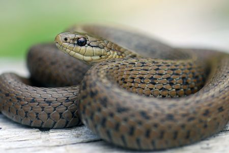A close up of a common harmless garter snake in Washington
