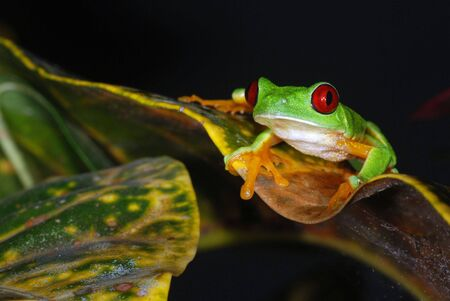 A red eye tree frog on a leaf in Costa Rica