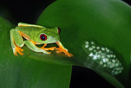 frog egg: A red eye tree frog with egg sac on a leaf in Costa Rica