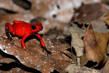 A red poison dart frog on a leaf in Costa Rica