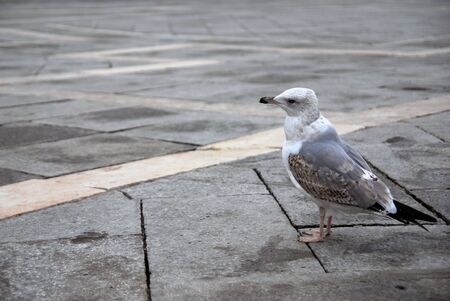 A seagull in San Marcos square in Venice