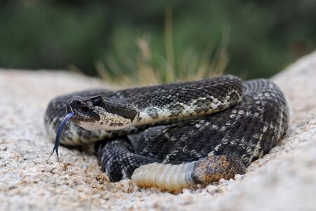 A southern pacific rattlesnake in Joshua Tree Banco de Imagens