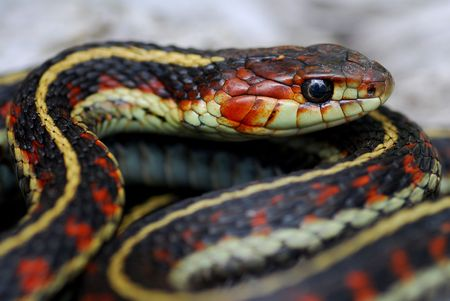 A red valley garter snake in Washington