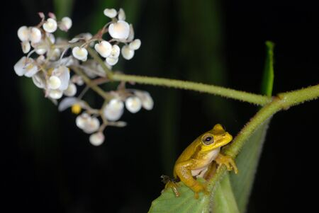 A yellow tree frog on a flower in Costa Rica Banco de Imagens