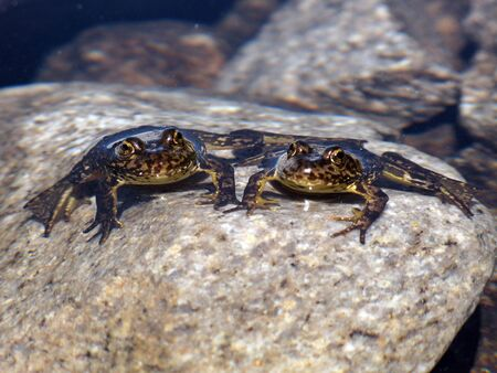 Two endangered mountain yellow legged frogs siting in a lake