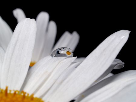 reflaction:  the reflection of the camomile is in the drop