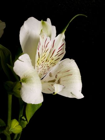 the white alstroemeria is against the black background