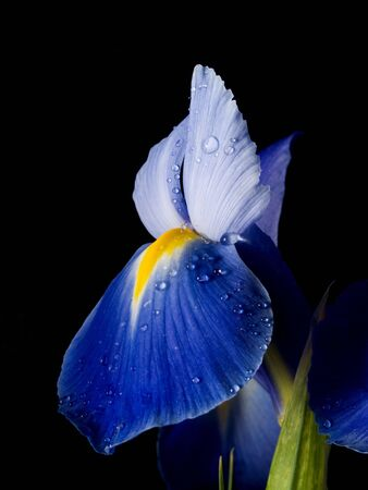 the blue iris is against the black background  Stock Photo