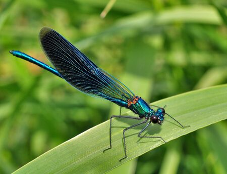 The blue dragonfly is on the blade of grass        Stock Photo