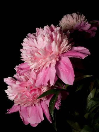 two pink peonies are against the black background Stock Photo