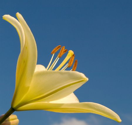 the lily is against the blue sky