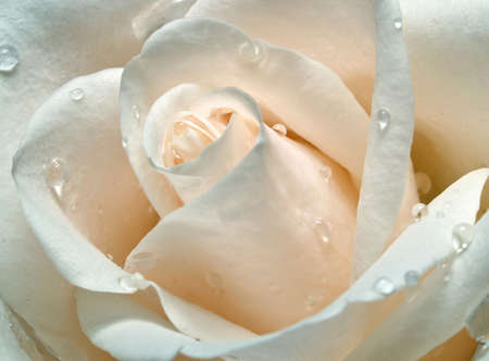 macro of the cream rose with drops