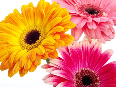 Several gerberas on white background