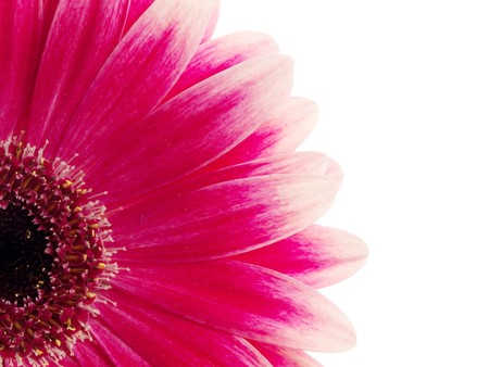 Gerbera on white background Stock Photo