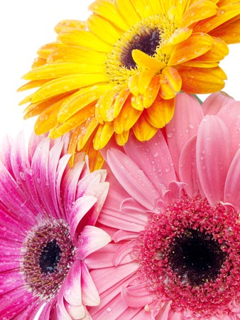 Several gerberas on white background photo
