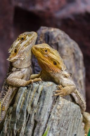 A couple of Sailfin lizard climbing the log photo