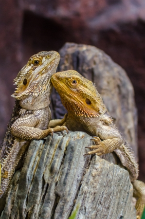 sailfin: A couple of Sailfin lizard climbing the log