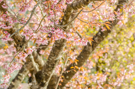 Wild Himalayan Cherry photo