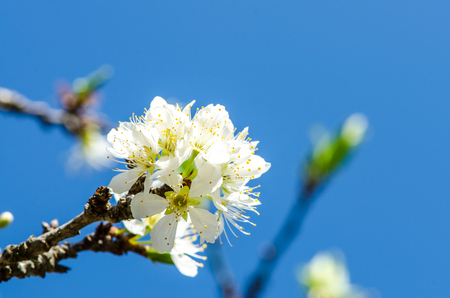 White Wild Himalayan Cherry photo