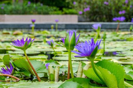 waterlilly: Purple Water-Lilly or Lotus blooming