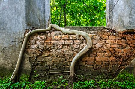 strangler: Root of banyan climb over old temple wall Stock Photo